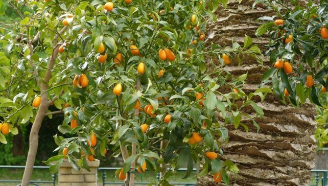 Corfou Kumquats